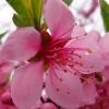 阳春三月桃花开