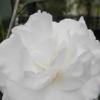 洁白的雪莲花