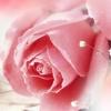 送你一朵玫瑰花