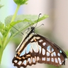 蝴蝶不懂花的泪